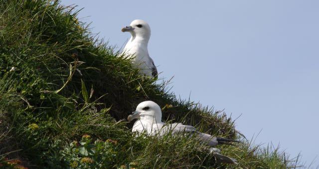 oiseaux islande