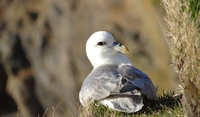oiseau islande